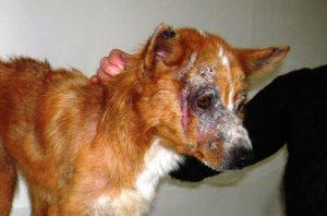 фото корок на коже у собаки