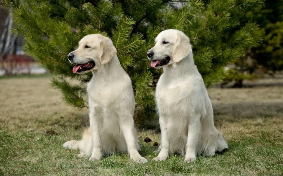 PUPPY CONDRO active для щенков золотистых ретриверов