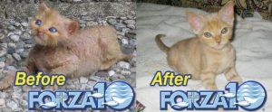Дерматит у котёнка до и после использования корма Forza10