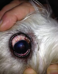 конъюнктивит у собак воспаление глаза собаки