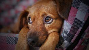 Печальная собака с поносом