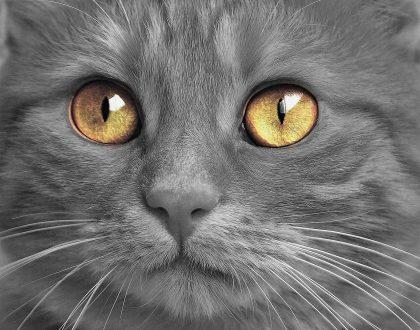 Кожный зуд у кошек