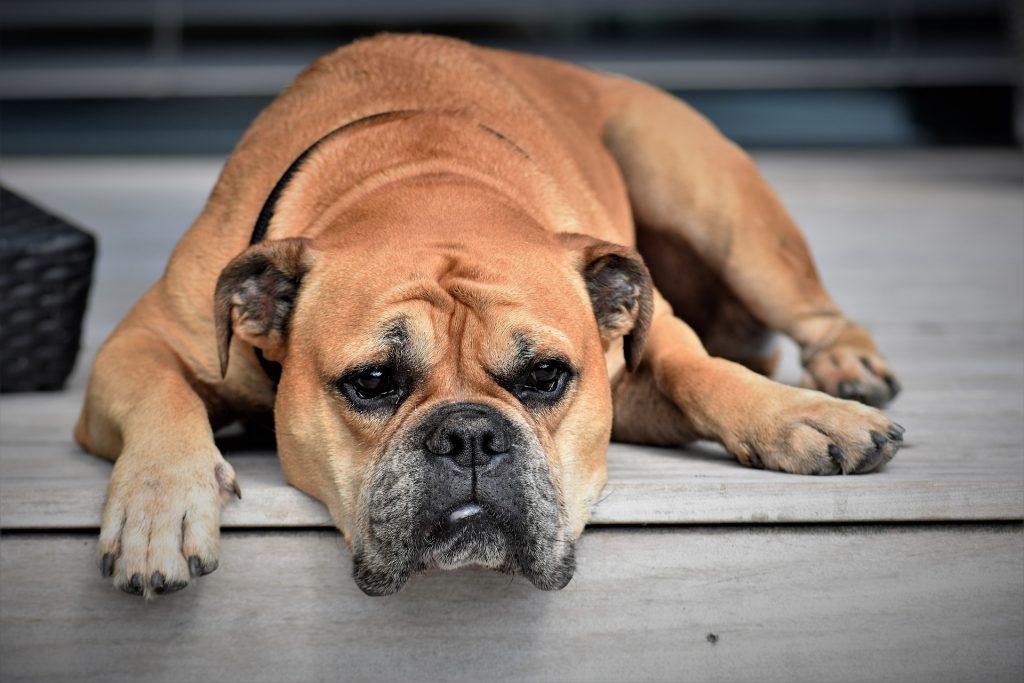 диарея у собаки, расстройств пищеварения у собаки