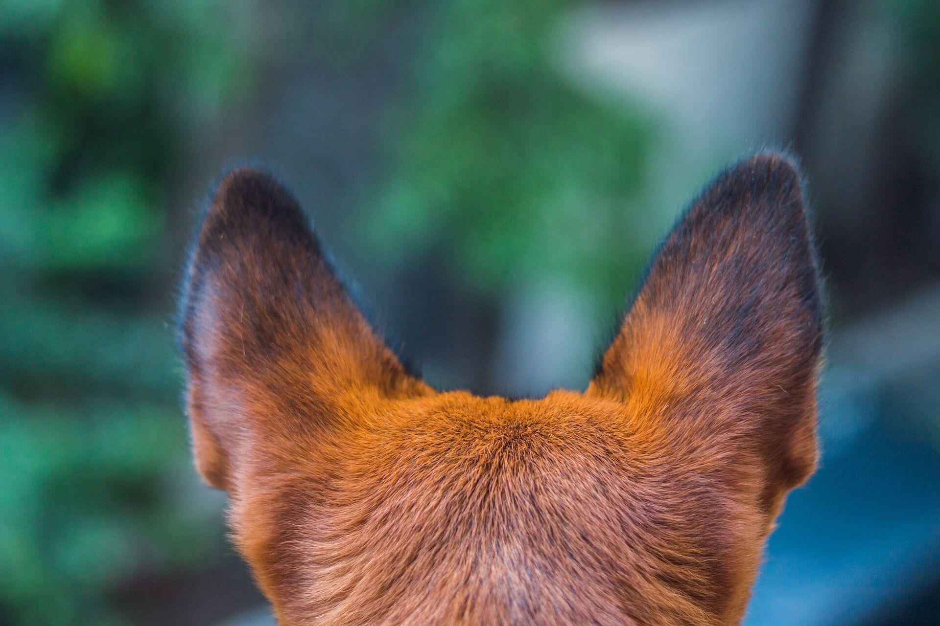 Болезни ушей у собаки: виды, симптомы, лечение