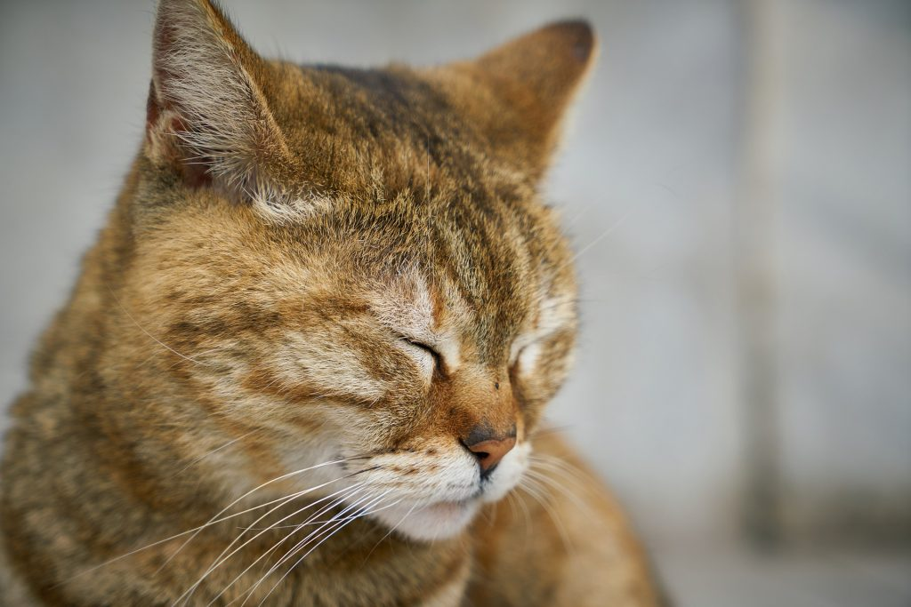 Кот с закрытыми глазами - конъюнктивит у кошек