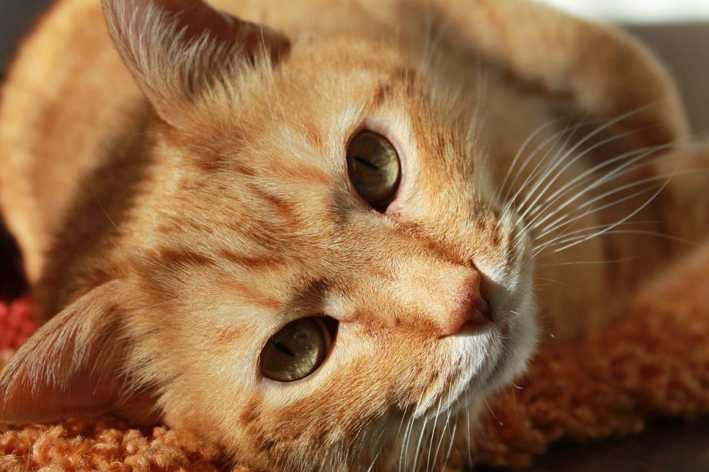 воспаление уха у кошек или отит у кошек Форца10 Форза10 Forza10