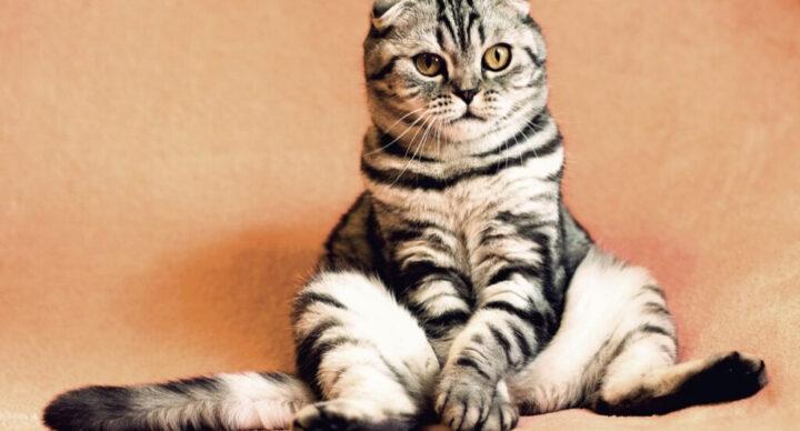 IBD у кошек решение есть - диета Forza10
