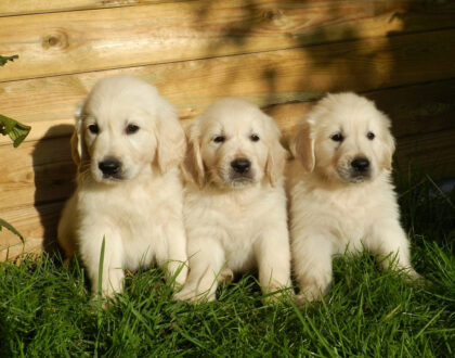 Вязка собак, проблемы с фертильностью