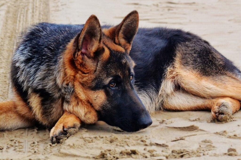 Дерматит у собак немецкой овчарки