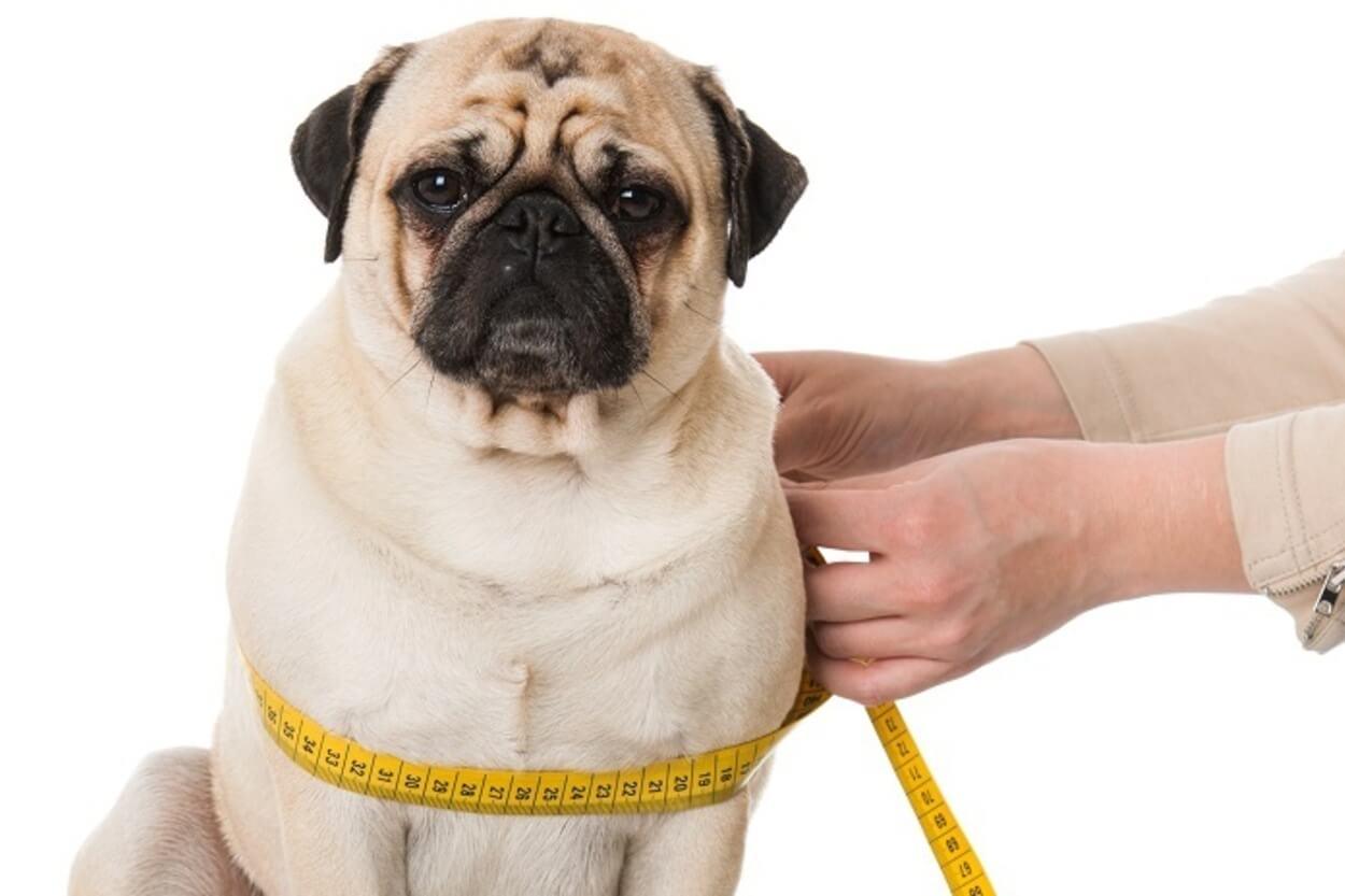 Лишний вес у собаки: идеальное питание