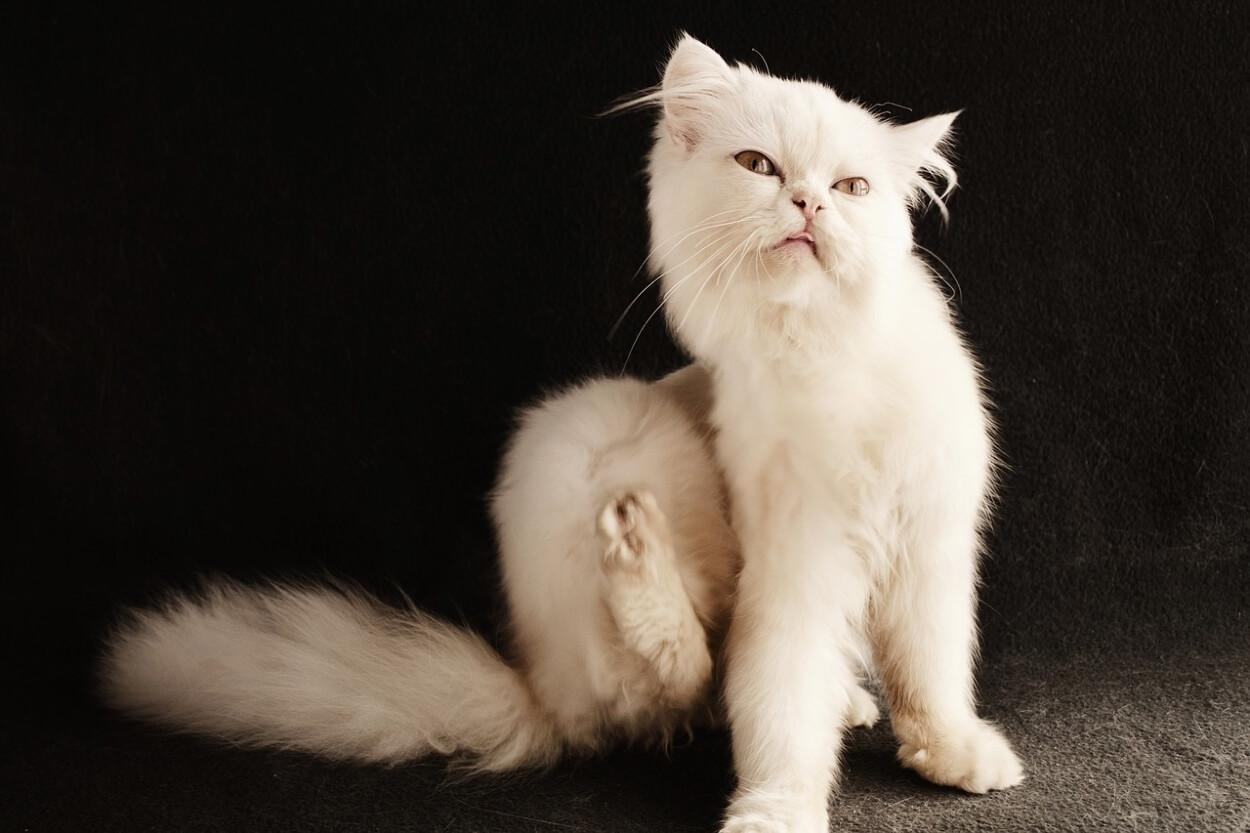 Почему кошка чешется? Каковы причины зуда у котов?