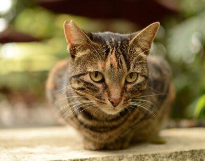 Решение нефрита у кошек