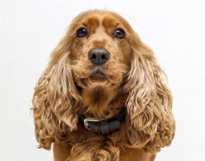 Воспаление уха у собаки, решение отита у собак